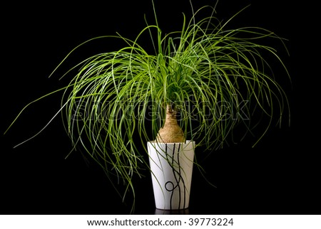Flower in pot on a black background, Nolina - stock photo