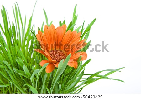 flower orange gerbera background with grass and copyspace for your text - stock photo