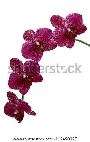 Flower orchids on white ground - stock photo