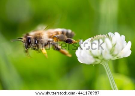 Flying honey bee in blurred motion leaving flower - stock photo