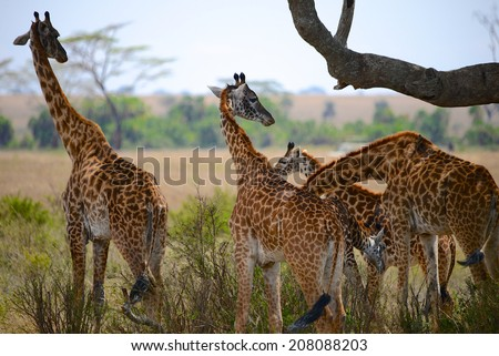 4 four giraffes in african savannah - back view - Safari Tanzania - Serengeti - stock photo