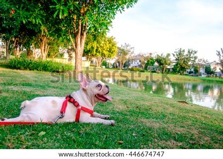 french bulldog waiting his owner in greensward - stock photo