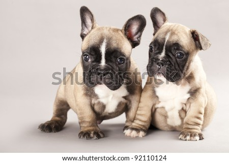 French bulldogs, puppy - stock photo