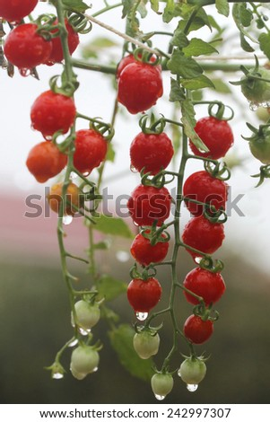 fresh and wet red cherry tomato in garden - stock photo