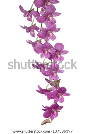 fresh orchid isolated on white,vertical - stock photo