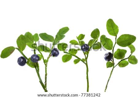 fresh ripe blueberry bilberry bush closeup macro  isolated on white background - stock photo