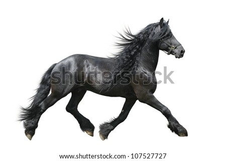 Friesian horse isolated on white - stock photo