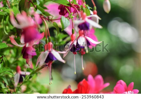 Fuchsia ,Fuchsia triphylla, Flower  - stock photo