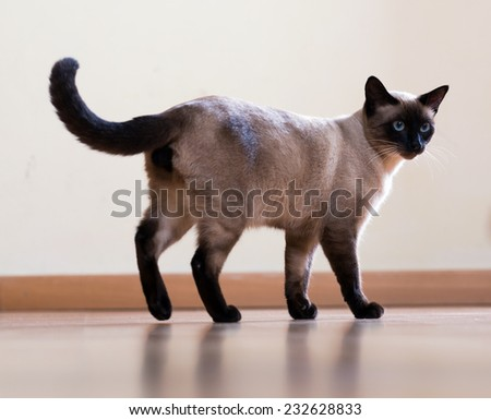 full length shot of Standing young  siamese cat on wooden floor indoor - stock photo