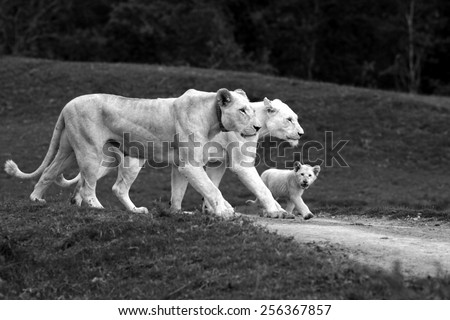 3 generations of white lioness in this special photo. mother daughter and grand daughter all walking with the same foot forward. - stock photo