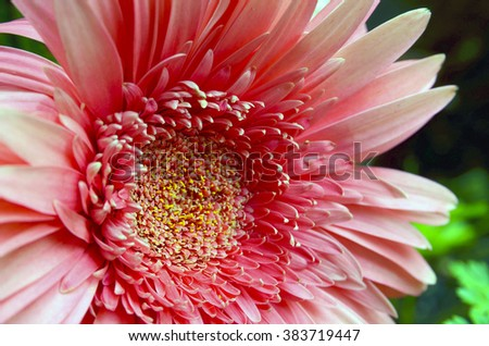 Gerbera flower close up. Floral background. - stock photo
