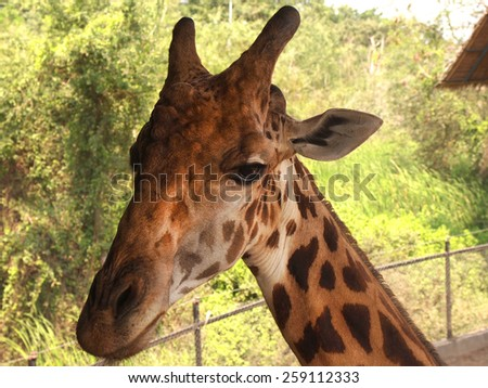 Giraffe with very long neck, coat pattered with brown patches separated by lighter lines. Tallest living animal which is a mammal.         - stock photo