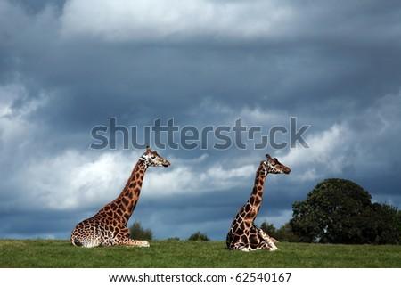 2 giraffes - stock photo