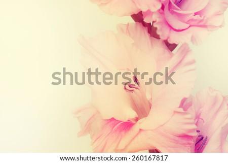 Gladiolus flowers. - stock photo