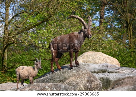 goat with son - stock photo