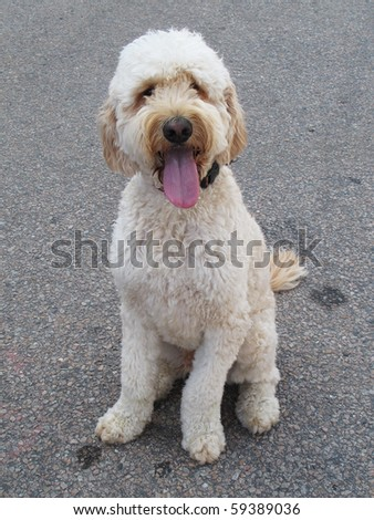 goldendoodle dog - stock photo