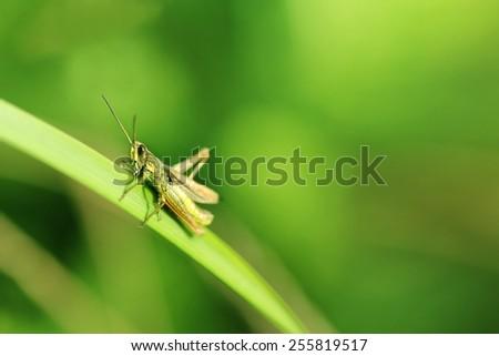 grasshopper on the grass blurred background - stock photo