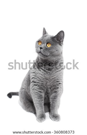 Gray British cat isolated on a white background - stock photo