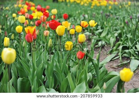 great amount of red and yellow tulips.  tulips in  typical  landscape. - stock photo
