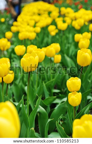 great amount of yellow tulips.  tulips in  typical  landscape. - stock photo