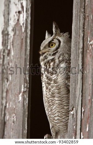 Great Horned Owl perched in barn window - stock photo