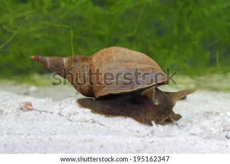 Great pond snail (Lymnaea stagnalis) in pond. Close up - stock photo