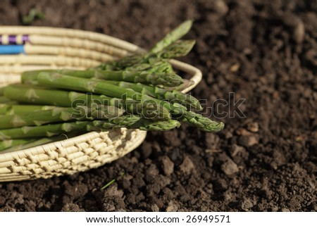 green asparagus spears in backet on the soil, shalow DOF - stock photo
