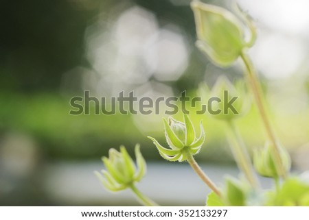 Green Buds of Hollyhock Flower waiting for Blooming - stock photo