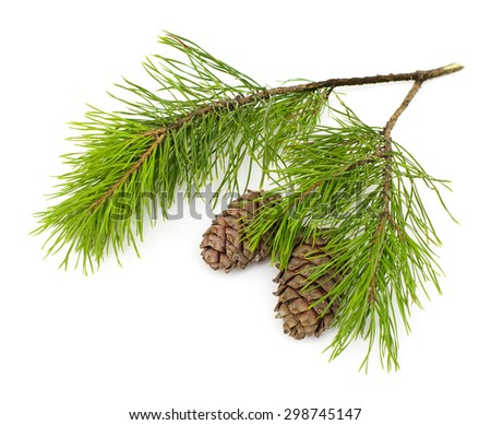 Green coniferous cedar branch with cones on white isolated  - stock photo