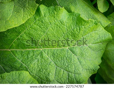 Green leaf burdock as background. Selective focus. - stock photo
