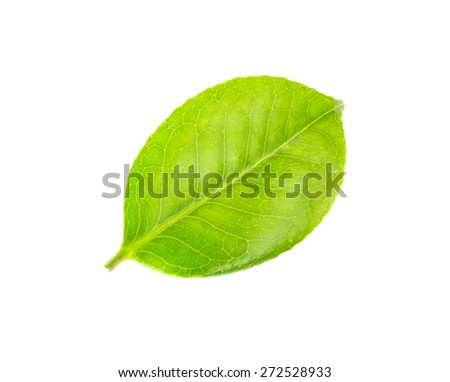 Green leaf CAMELLIA. Isolated on a white. - stock photo