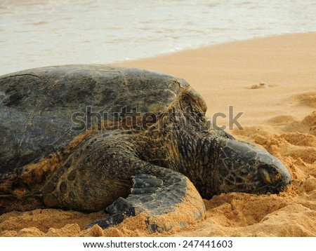 green sea turtle  sleeping on the shore at dusk on poipu beach, Kauai, hawaii      - stock photo