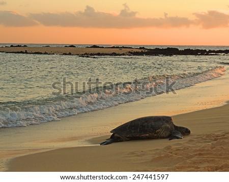 green sea turtle sleeping on the shore at sunset in poipu beach, kauai, hawaii      - stock photo