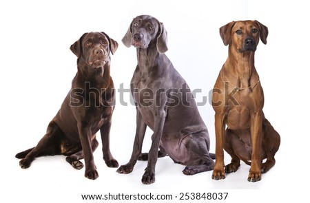 group of dogs,  weimaraner, Labrador Retriever,Rhodesian ridgeback  dog - stock photo
