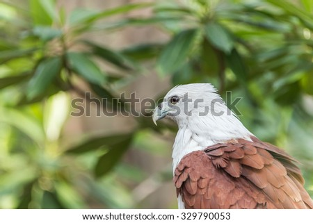 Hawk is similar to an eagle, a bird of prey as well. But the Hawks are smaller than a hooked beak and sharp claws flying strong in spreading fast and wide long wings can fly or heat. - stock photo