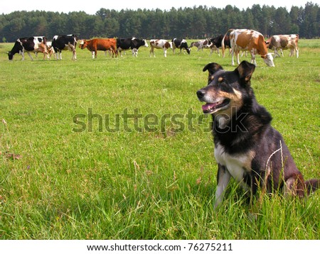 herder - stock photo