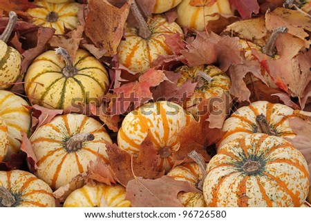 """Hide and Seek"" - Small gourds hide in fallen autumn leaves, Mears, Michigan, USA - stock photo"