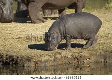 Hippopotamus baby walking on river bank; hippopotamus amphibius - stock photo