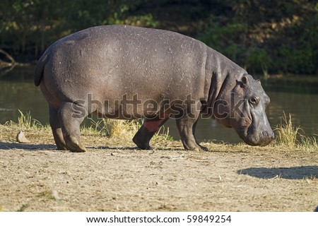 Hippopotamus walking on river bank; hippopotamus amphibius - stock photo