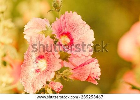 Holly Hock flowers (Hollyhock) pink ,vintage retro pastel style soft background with sun light. - stock photo