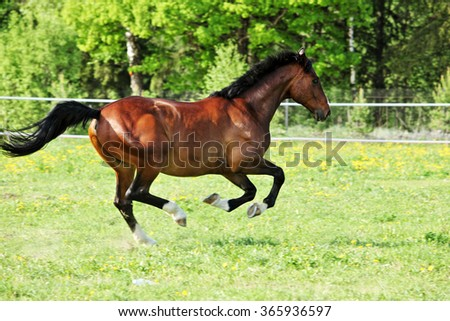 Horse gallops in a grass covered paddock in summer - stock photo