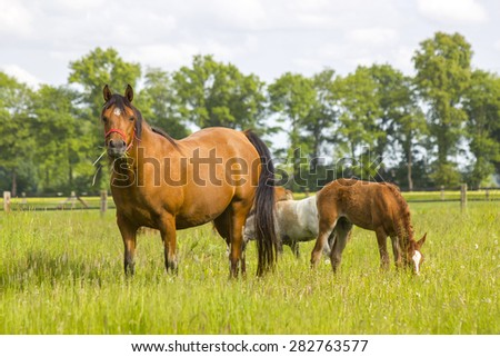 horses on a spring pasture, Lower Rhine Region, Germany - stock photo