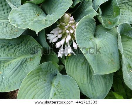 Hosta montana, plant. Family Asparagaceae  - stock photo