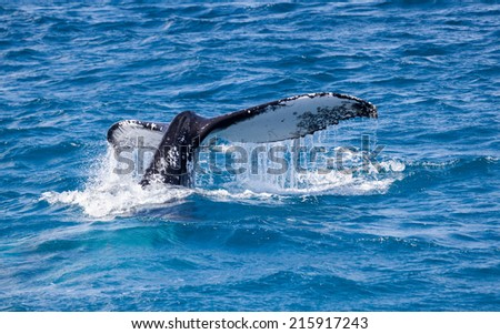 Humpback whale at Hervey Bay queensland aug 2014 - stock photo