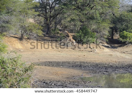 Hunting lioness (Panthera leo) tracking a young giraffe that came down to drink at waterhole, Kruger National Park, South Africa - stock photo