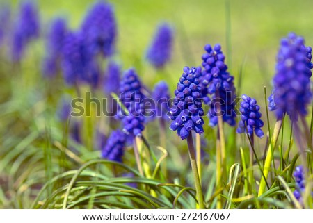 hyacinths bloom in the garden, close-up - stock photo