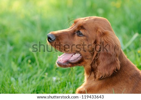 Irish Setter Dog Puppy - stock photo