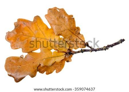 isolated on white background old yellow oak leaf. autumn - stock photo