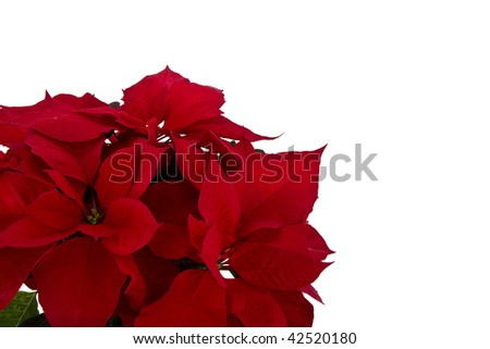 Isolated red poinsettia for Christmas background - stock photo