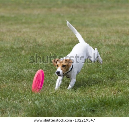 Jack Russell Terrier chasing a frisbee - stock photo